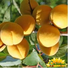абрикос  Лучший Мичуринский