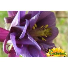 Аквилегия (Водосбор) обыкновенная Flore Pleno Black