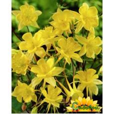 Аквилегия (Водосбор) обыкновенная Yellow Queen