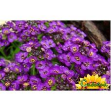 Алиссум морской Violet Konigin