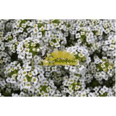Алиссум морской Snow Karpet