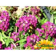Алиссум морской Lilac Queen