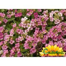 Алиссум морской Easter Bonnet Pink