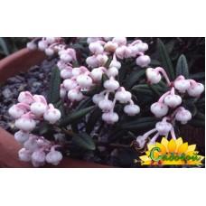 Андромеда многолистная Macrophylla