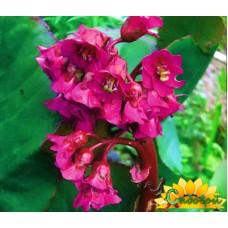 бадан  Purpurea