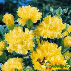 гвоздика  садовая, или гвоздика голландская  Сувенир де Мальмезон
