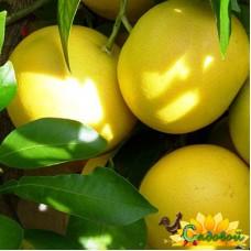 Грейпфрут Юбилейный