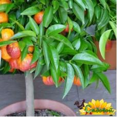 Апельсин кровавый Моро