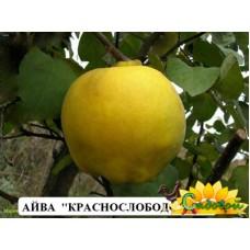 айва крупноплодная Краснослободская