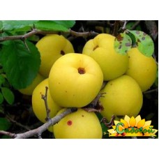 Айва крупноплодная Ахмед жум