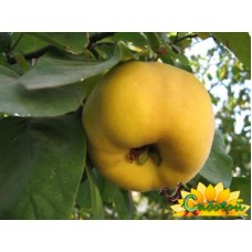 Айва крупноплодная Аревик
