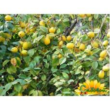 айва крупноплодная Лимонка
