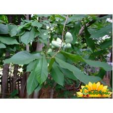 Азимина трёхлопастная (банановое дерево)  Мартин