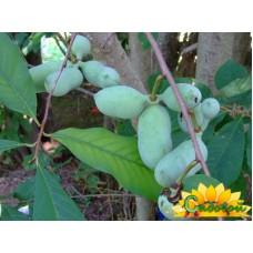 Азимина трёхлопастная (банановое дерево)  Митчел