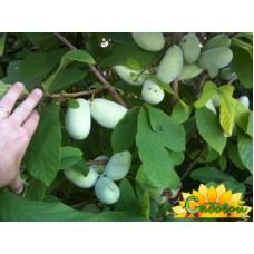 Азимина трёхлопастная (банановое дерево)  Оверлиз