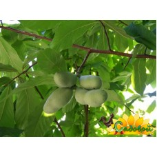 Азимина трёхлопастная (банановое дерево)  Тейлор