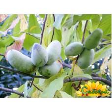 Азимина трёхлопастная (банановое дерево)  Виктория