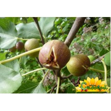 Инжир  Абхазский фиолетовый (Темри)