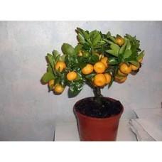 Мандариновое дерево   Ковано-Васе