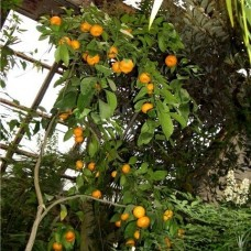 Мандариновое дерево   Уншиу