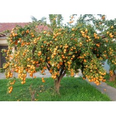 Мандариновое дерево   Сицилийский