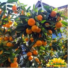 Мандариновое дерево  Сочинский
