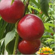 нектарин  Рубиновый