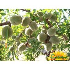 Миндаль плодовый Римс
