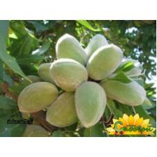 Миндаль плодовый Приморский