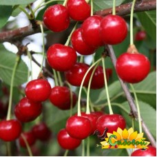 вишня обыкновенная, или вишня садовая  Норд Стар