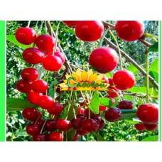 вишня обыкновенная, или вишня садовая  Обильная