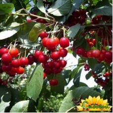 вишня обыкновенная, или вишня садовая  Октава