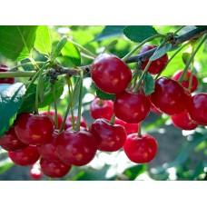 вишня обыкновенная, или вишня садовая   Игрицкая