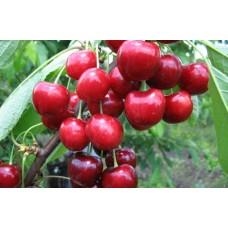 вишня обыкновенная, или вишня садовая  Аннушка