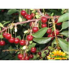 вишня обыкновенная, или вишня садовая  Апухтинская