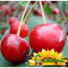 вишня обыкновенная, или вишня садовая  Десертная Морозовой