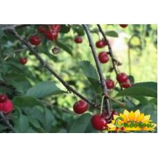 вишня обыкновенная, или вишня садовая  Конкурентка