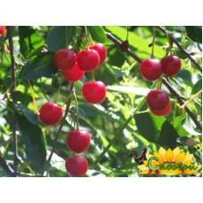 вишня обыкновенная, или вишня садовая  Нижнекамская