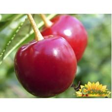 вишня обыкновенная, или вишня садовая  Норма