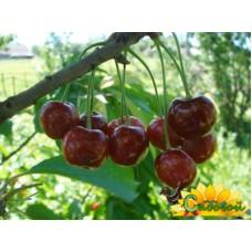 вишня обыкновенная, или вишня садовая  Расторгуевская