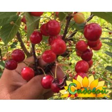 вишня обыкновенная, или вишня садовая  Вянок
