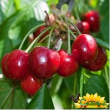 вишня обыкновенная, или вишня садовая  Загорьевская