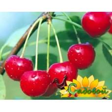вишня обыкновенная, или вишня садовая  Заранка