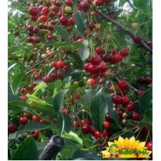 вишня обыкновенная, или вишня садовая  Золушка